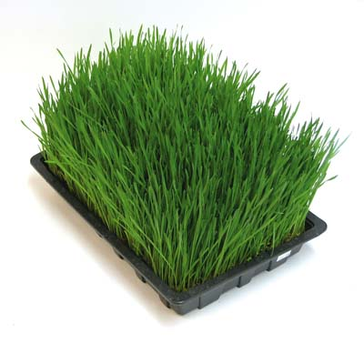 wheat grass, growing wheat grass, wheat grass juice,