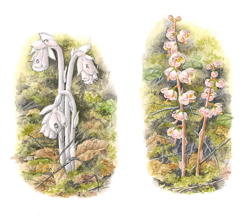 Indian Pipe and Wintergreen