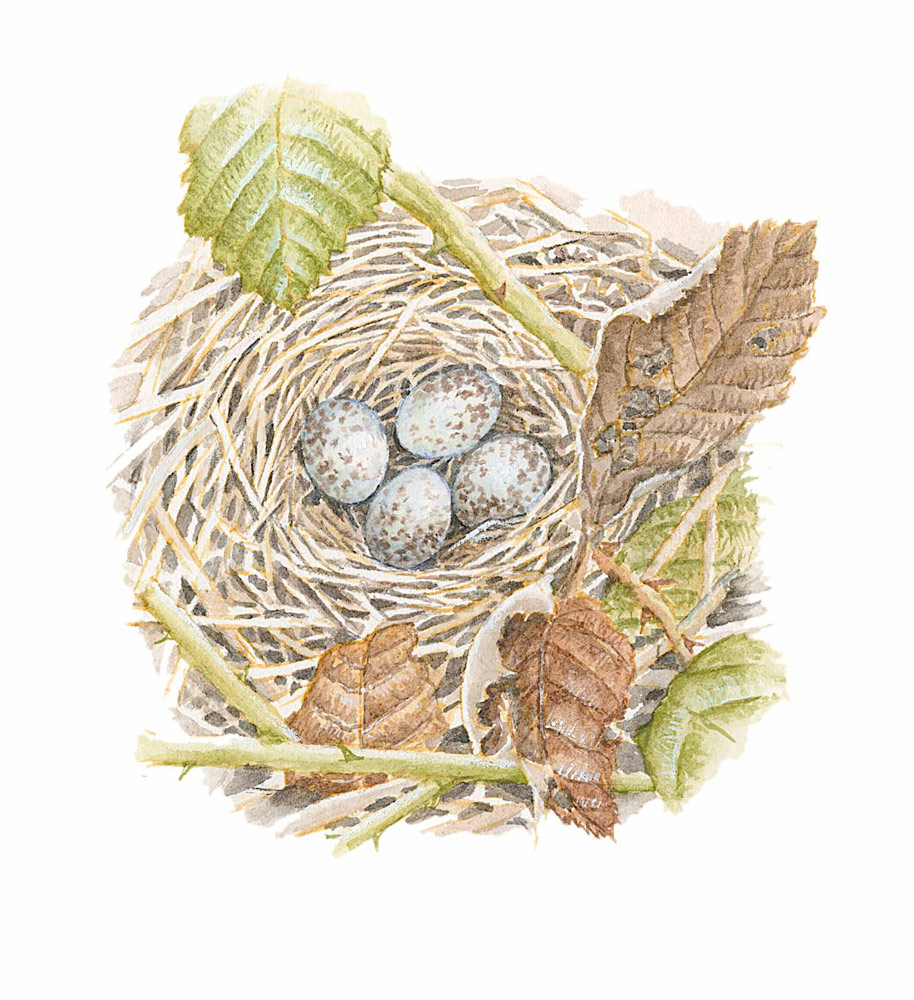 Nest of Song Sparrow