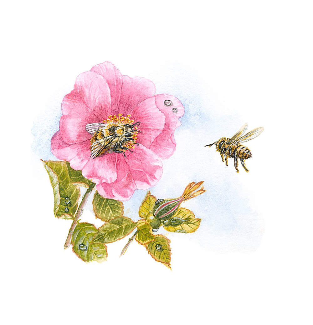 Nootka Rose and Bees